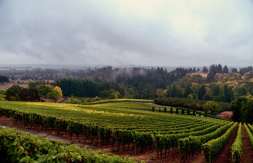 Dundee Oregon Vineyard